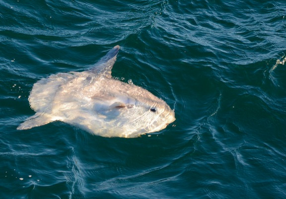 Sunfish Captured In Rare Breaching Off Cape Cod