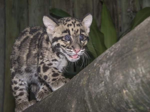 Clouded Leopard Cubs Are 'Ambassadors-In-Training,' Zoo Says