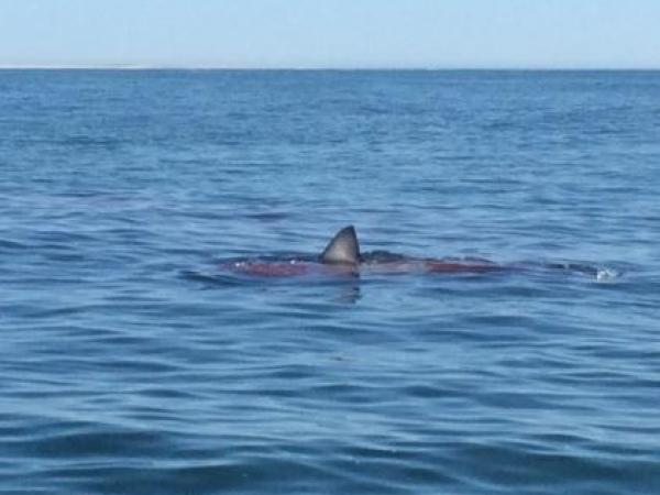 'Awesome' Great White Shark Video on Cape Cod Also Terrifying
