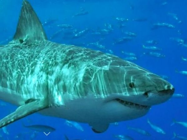 Great white shark swims by boat off Provincetown
