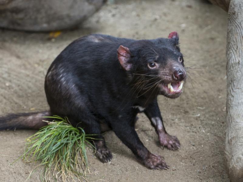 Tasmanian Devil Gets Pacemaker to Fix Heart