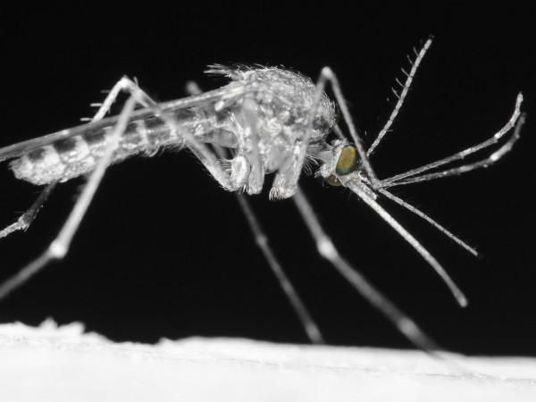 Additional 19 Mosquito Samples Test Positive for West Nile Virus