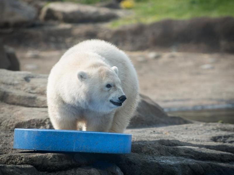 Oregon Zoo S New Baby Polar Bear Is Totally Adorable