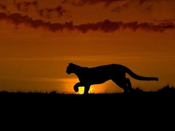 LA's Sprawl Putting Mountain Lions In Jeopardy