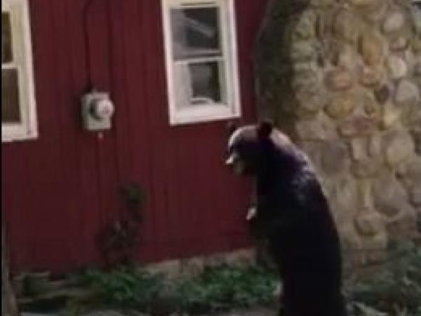 Bear that walks like a human re-emerges in New Jersey