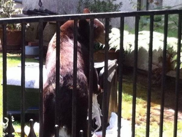 Bears Take a Dip in Pasadena Pool & Get Chased by a Dog