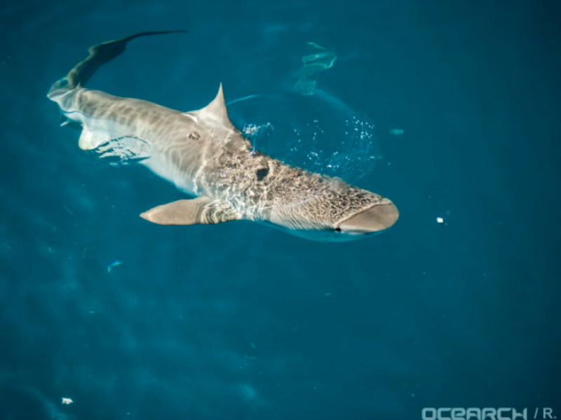 600-Pound, 11-Foot Tiger Shark Hanging Out in Virginia ...