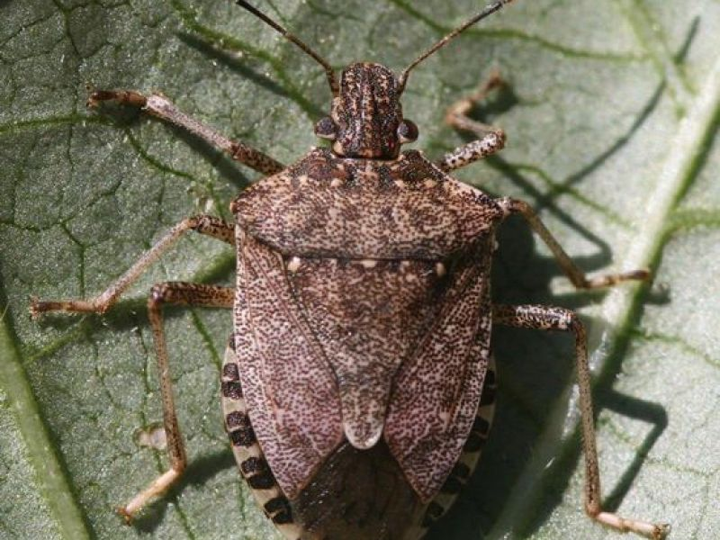 it 39 s stink bug season here 39 s how to get rid of them annandale va patch. Black Bedroom Furniture Sets. Home Design Ideas