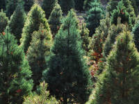 where to buy a christmas tree in the twin cities - Where To Buy A Christmas Tree