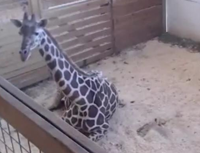 Giraffe watch: Distracted April's rear end shows 'significant' bulging