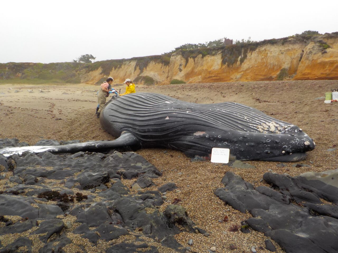 California san mateo county pescadero - Earlier This Month Scientists From The Two Organizations Responded To A 30 Foot Male Humpback Whale That Also Washed Ashore At Bean Hollow State Beach And