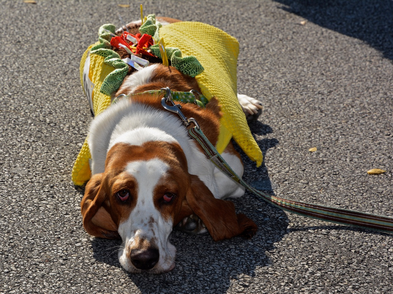 Dress up your pet day -  Huckleberry Bixenstine Wearing His Taco Suit At The Lakewood Spooky Pooch Parade Rick Uldricks Cleveland Editor