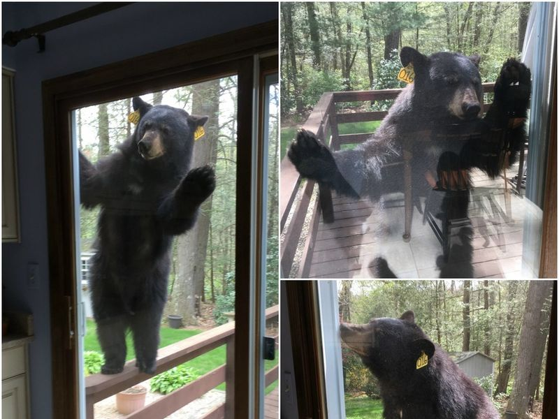 Bear Knocks On Door For Brownies & Bear Knocks On Door For Brownies - Avon CT Patch Pezcame.Com