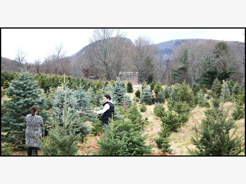 Connecticut Grown Christmas Tree Farms Opening This Week