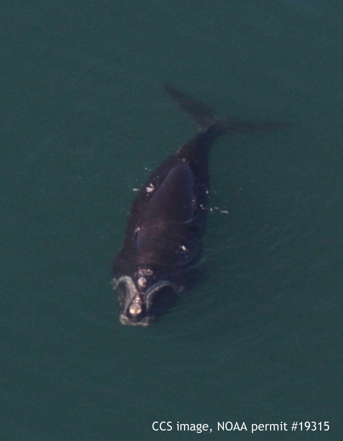 endangered right whale calf dies in cape cod bay barnstable ma