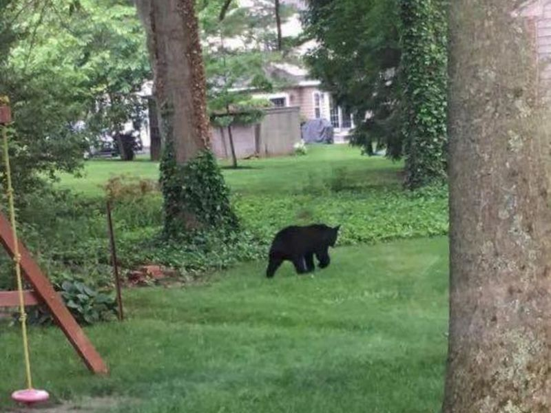bear sightings thursday in doylestown doylestown pa patch. Black Bedroom Furniture Sets. Home Design Ideas
