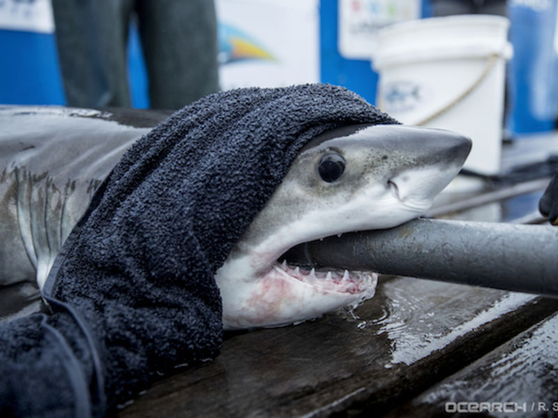 New Shark Pup Great White Finn Spotted Off Long Island