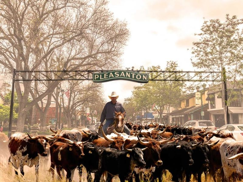 Cattle Drive Coming To Main St In Pleasanton We 39 Re Not Kidding Newark Ca Patch