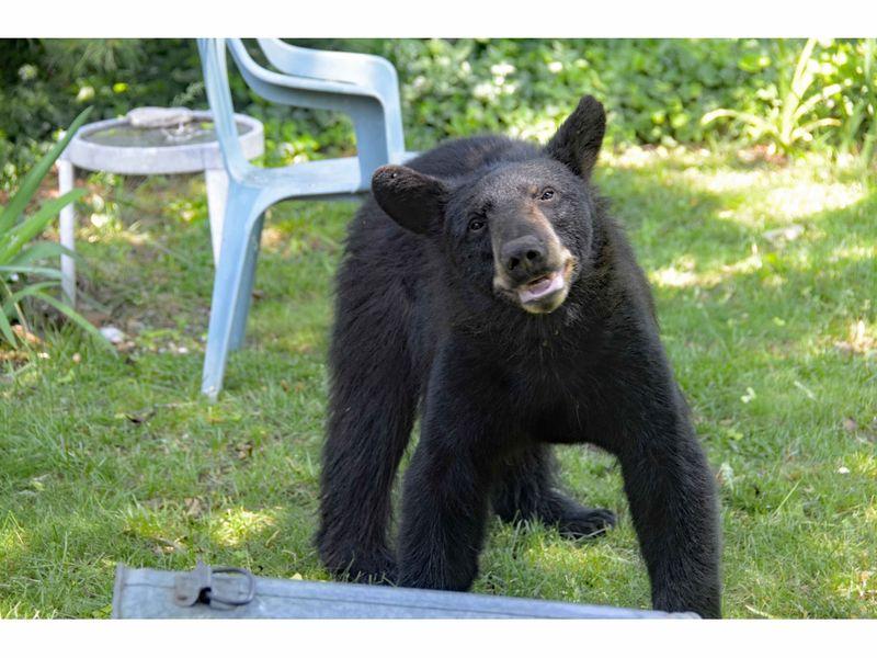 Video Bear Spotted Near Walnut Beach In Milford Milford