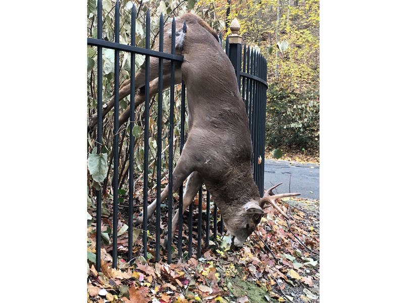 Deer S Jump Over Spiked Fence Proves Fatal In Glen Cove
