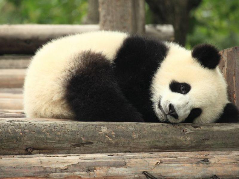 Panda House billionaire asks donald trump's sons to bring panda house to