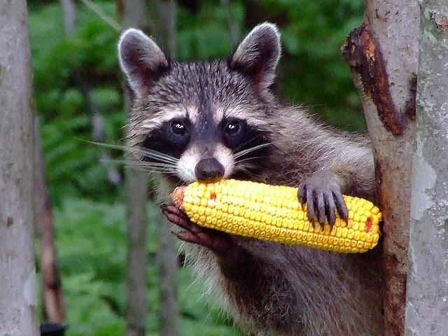 Raccoons Favorite Food Eat