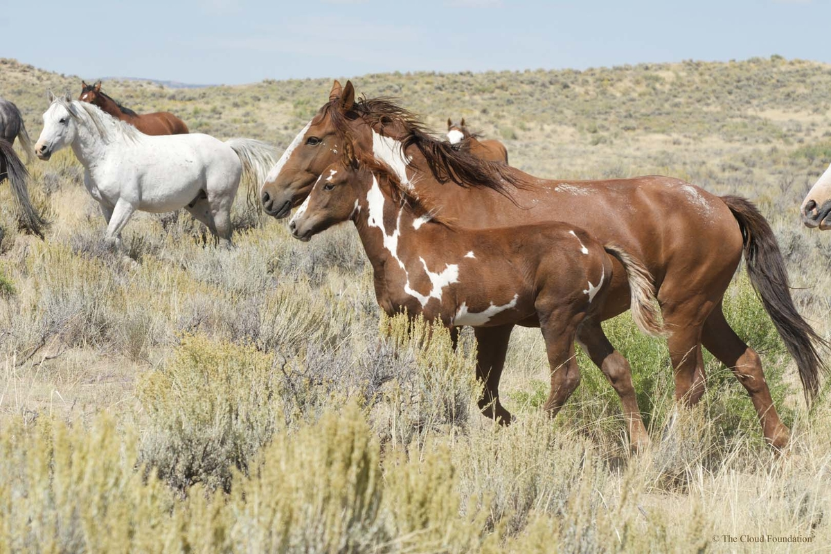 Wild mustangs in the Sand Wash herd near Craig, Colorado are descended from escaped U.S. Cavalry horses. Image via Cloud Foundation