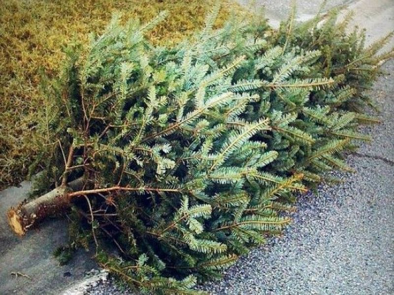Free Christmas Tree Pick Up Part - 50: Recycle Your Christmas Tree And And Get Some Free Mulch