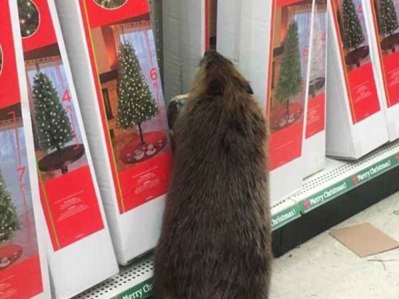 Beaver Rejects Fake Christmas Trees in Dollar Store - Edgewater ...